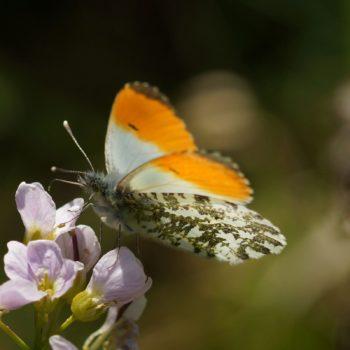 Pierinae (Echte Weißlinge)