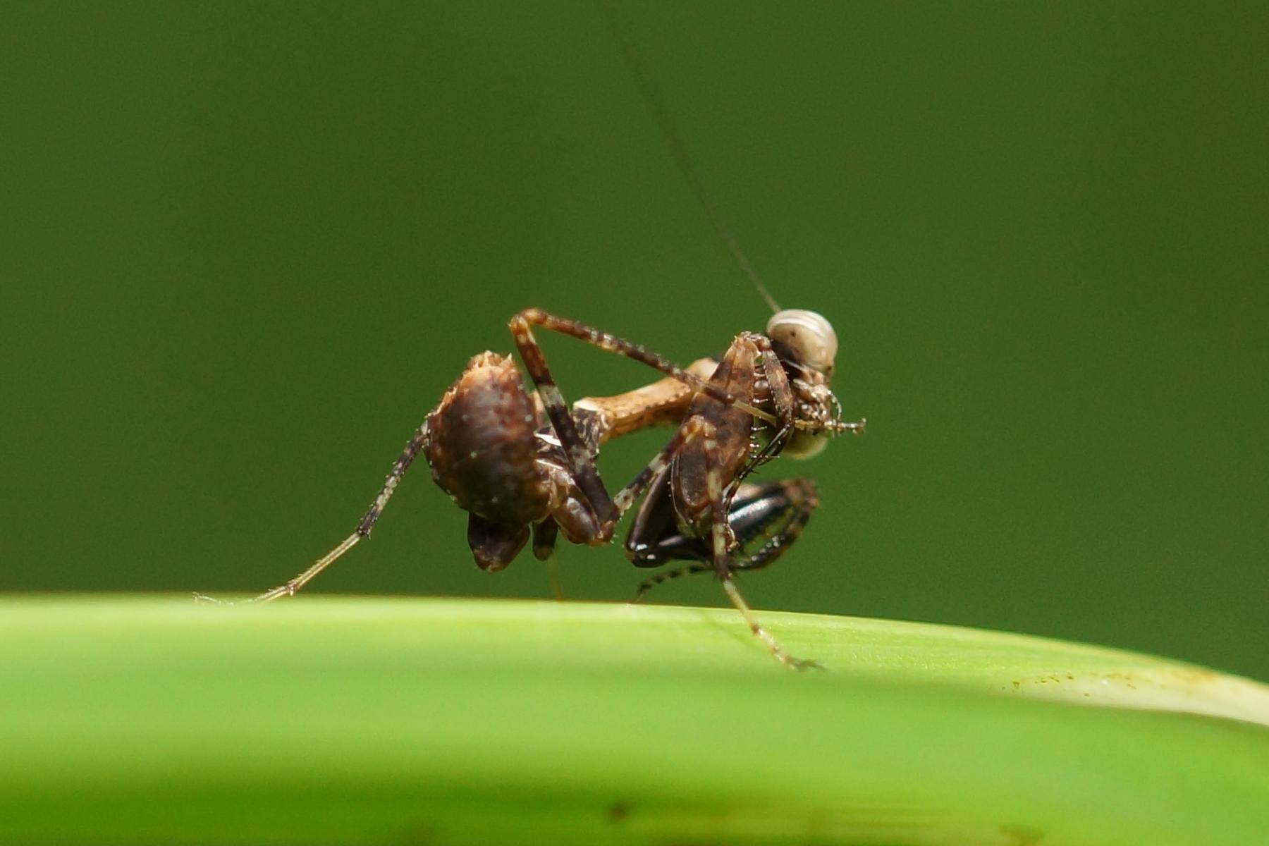 <i>Acromantis gestri</i> (Thailand Boxer Praying Mantis)