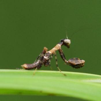 Acromantis gestri (Thailand Boxer Praying Mantis) - Thailand