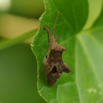 Acanthocoris scaber (Leaf-footed Bug)