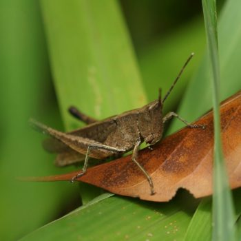 Acrididae sp. (Feldgrashüpfer) - Thailand