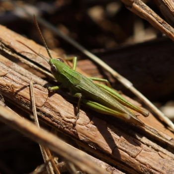 Acrididae sp. (Feldgrashüpfer)