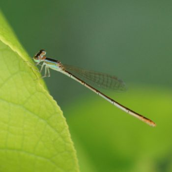 Agriocnemis pygmaea (Pygmy Wisp) - Thailand