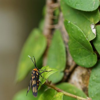Amata huebneri (White Antenna Wasp Moth)