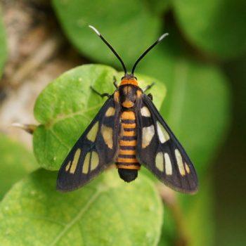 Arctiinae (Bärenspinner)