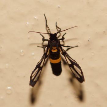 Amata sperbius (Wasp Moth)