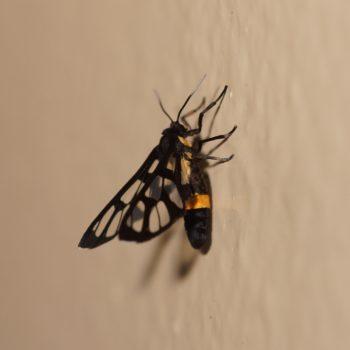 Amata sperbius - Thailand