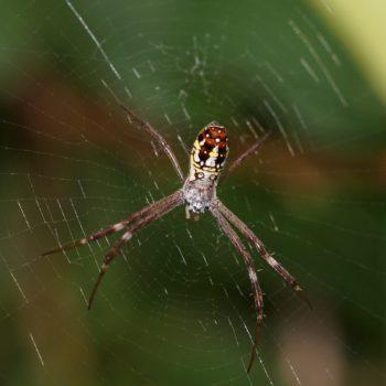 Argiope dang (Dang's Cross Spider)