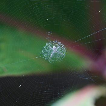 Argiope sp. (Cross Spider)