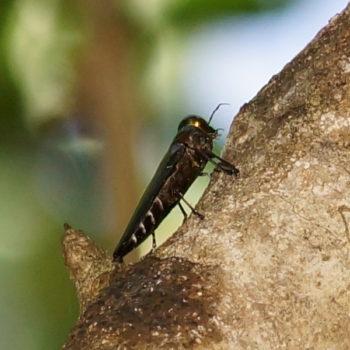 Belionota aenea (Prachtkäfer) - Thailand