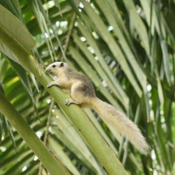 Callosciurus finlaysonii (Finlayson-Hörnchen) - Thailand