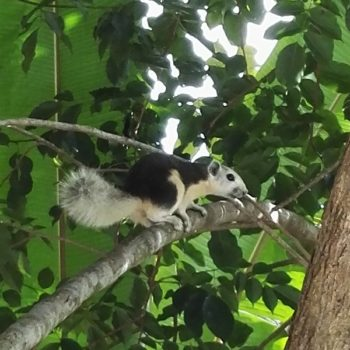 Callosciurus finlaysonii (Finlayson's Squirrel)