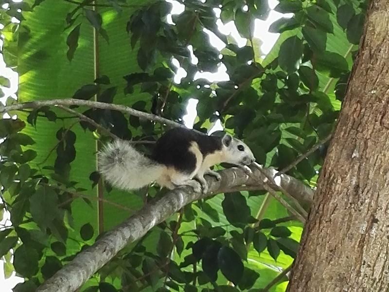 <i>Callosciurus finlaysonii</i> (Finlayson's Squirrel)