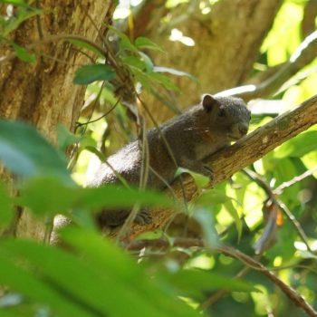 Callosciurus finlaysonii ferrugineus (Finlayson's Squirrel)