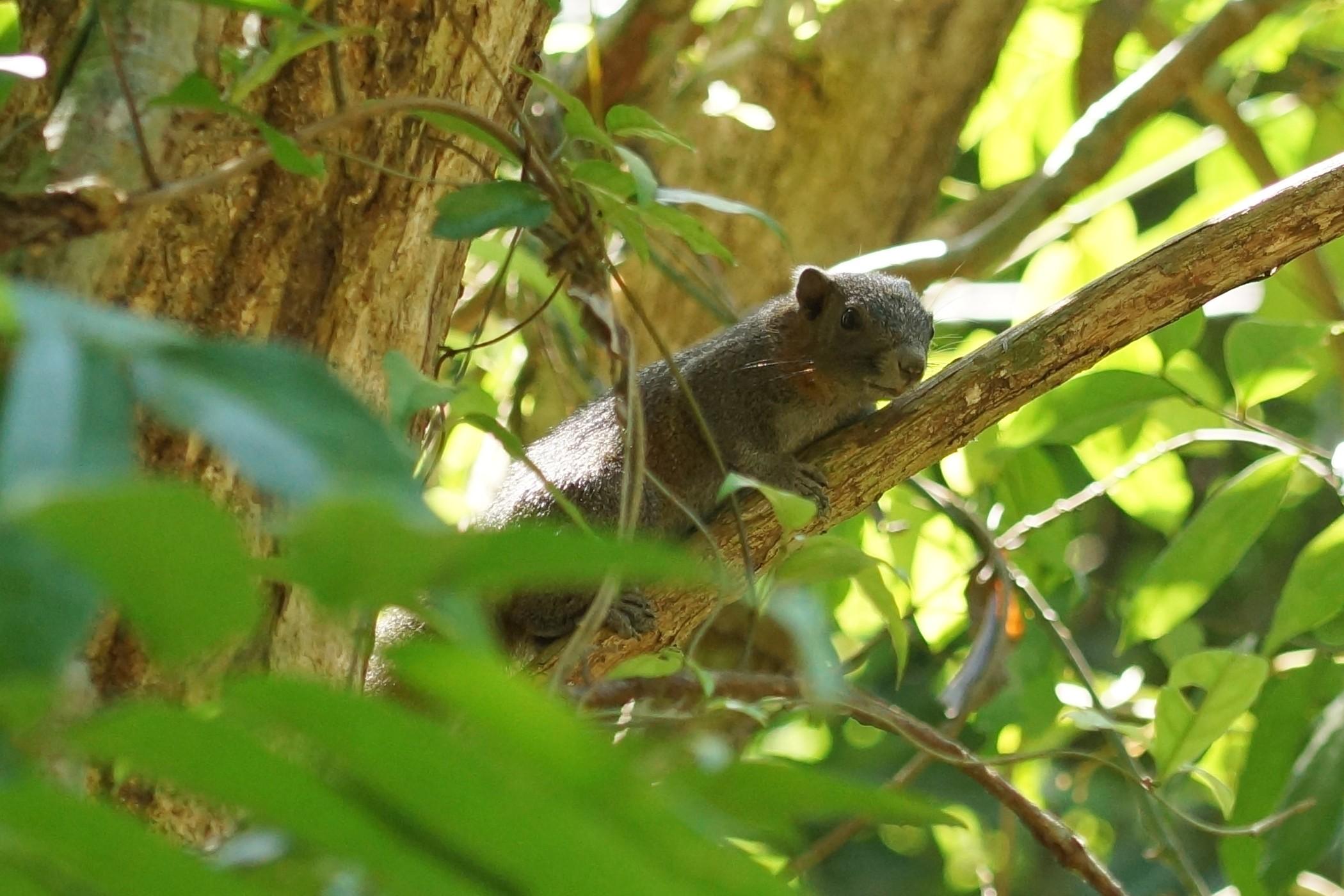 <i>Callosciurus finlaysonii ferrugineus</i> (Finlayson's Squirrel)