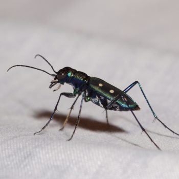 Calochroa flavomaculata (Tiger Beetle)