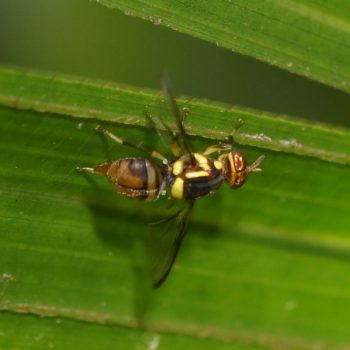 Bactrocera dorsalis (Oriental Fruit Fly) - Thailand