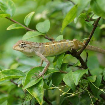 Calotes versicolor (Blutsaugeragame) - Thailand