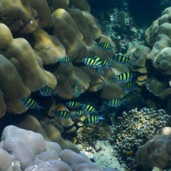 Abudefduf vaigiensis (Indopazifischer Feldwebelfisch)