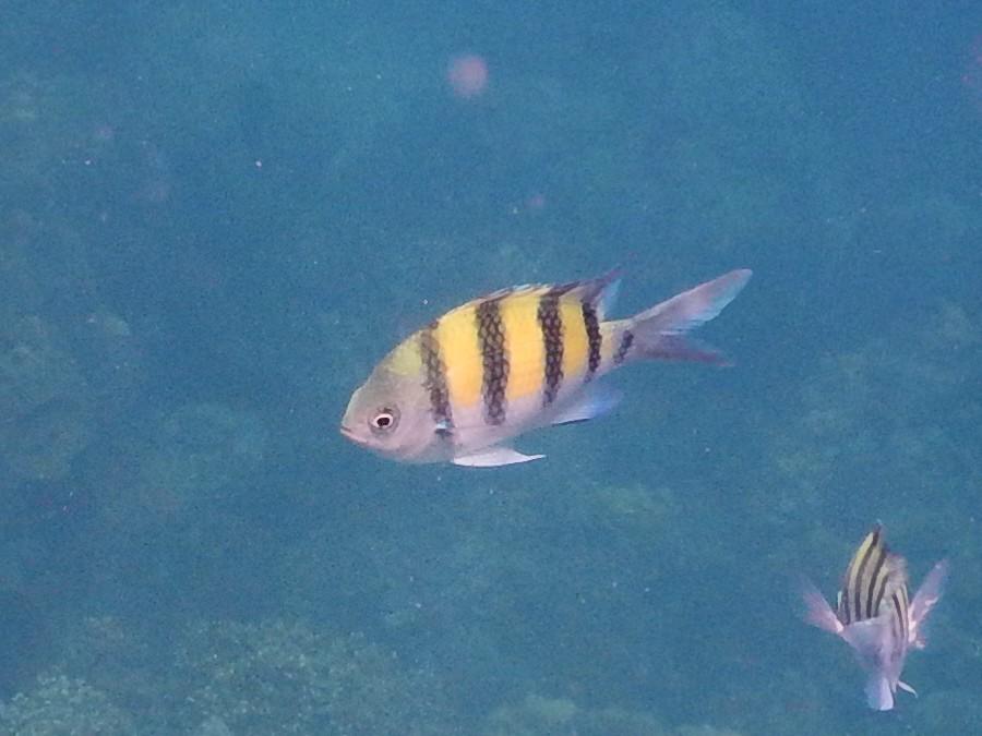 <i>Abudefduf vaigiensis</i> (Indopazifischer Feldwebelfisch)