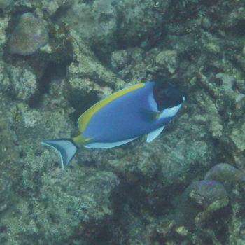 Acanthurus leucosternon (Weißkehl-Doktorfisch) - Thailand