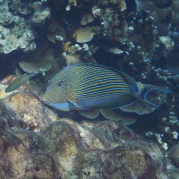 Acanthurus lineatus (Blaustreifen-Doktorfisch) - Thailand