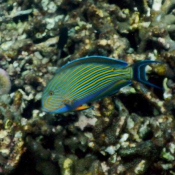 Acanthurus lineatus (Blaustreifen-Doktorfisch)