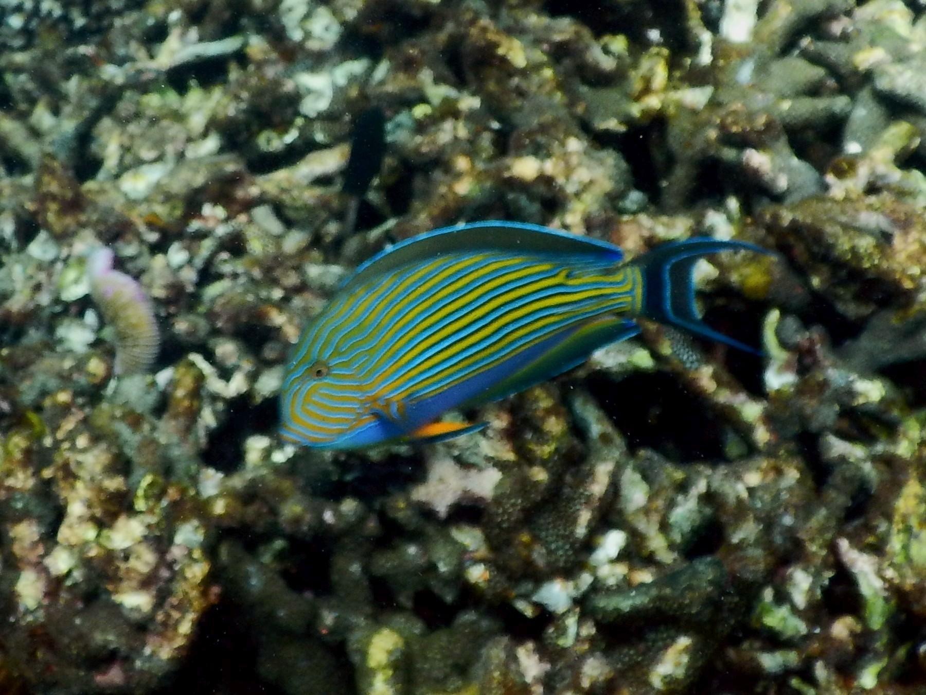 <i>Acanthurus lineatus</i> (Blaustreifen-Doktorfisch)