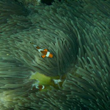 Amphiprion ocellaris (Falscher Clownfisch)