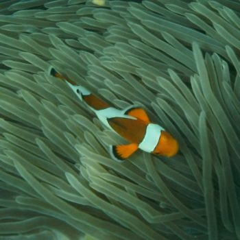 Amphiprion ocellaris (Falscher Clownfisch) - Thailand