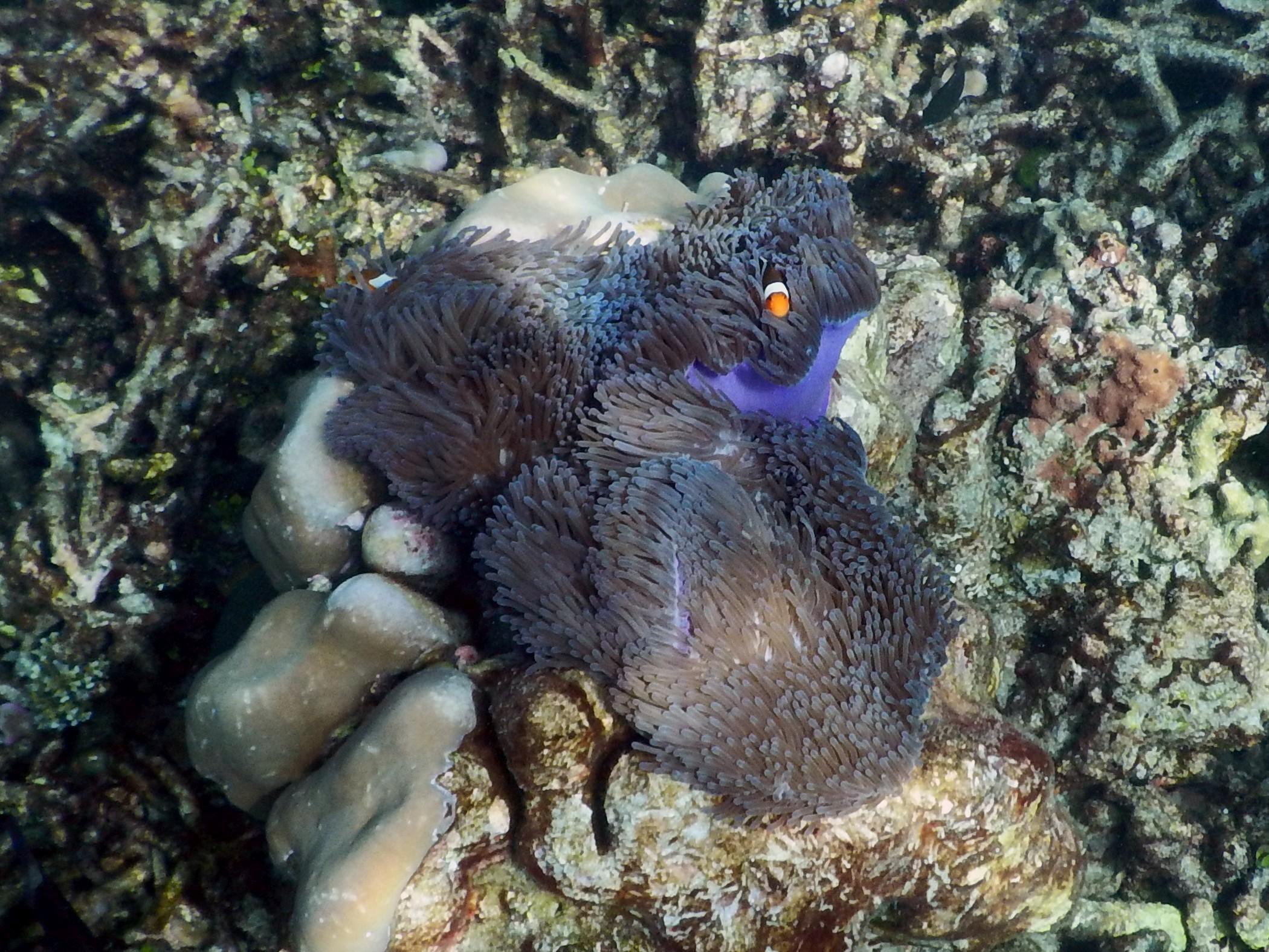 <i>Amphiprion ocellaris</i> (Falscher Clownfisch)