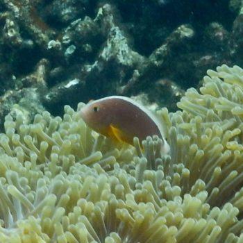 Amphiprion sandaracinos (Oranger Anemonenfisch) - Thailand