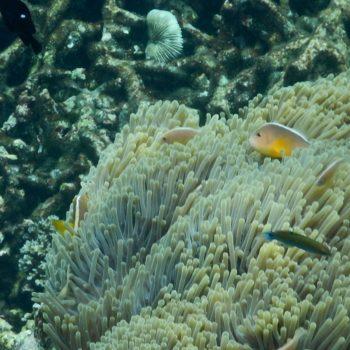 Amphiprion sandaracinos (Oranger Anemonenfisch)