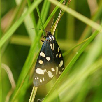Callimorpha dominula (Schönbär)