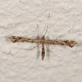 Amblyptilia acanthadactyla (Federmotte)