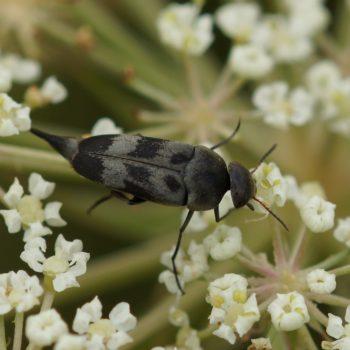 Variimorda villosa (Gebänderter Stachelkäfer)