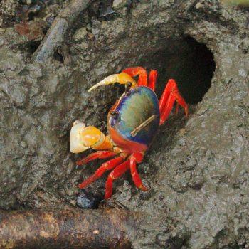 Crustacea (Krebstiere) - Costa Rica 2018