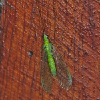 Ceraeochrysa sp. (Florfliege) - Costa Rica