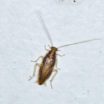 Chorisoneura sp. (Waldschabe)