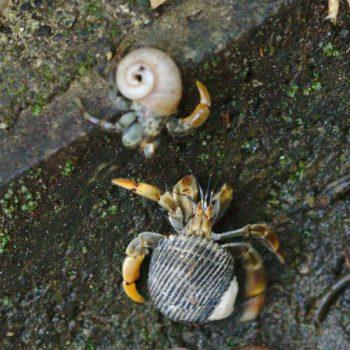 Coenobita compressus (Pazifik-Einsiedlerkrebs) - Costa Rica