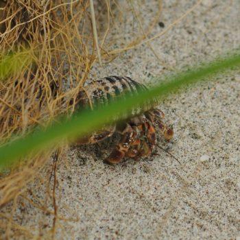 Coenobita compressus (Pazifik-Einsiedlerkrebs)