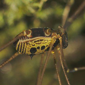 Cosmetidae sp. (Weberknecht)