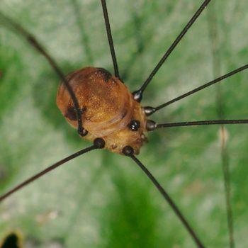 Holcobunus sp. (Kammkrallenkanker)
