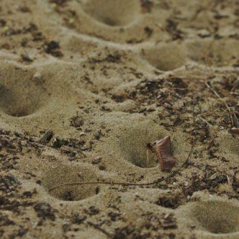 Myrmeleontidae sp. (Ameisenjungfer) - Costa Rica