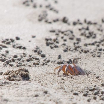 Ocypode gaudichaudii (Painted Ghost Crab)