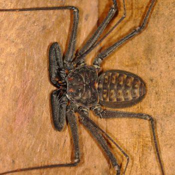 Phrynus whitei (Zweiflecken-Geißelspinne)