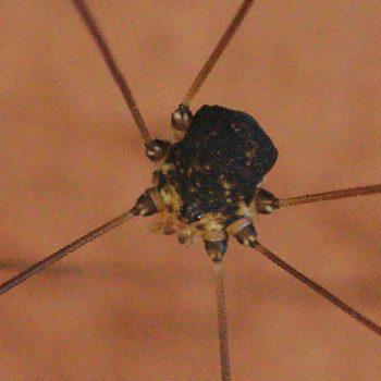 Prionostemma sp. (Kammkrallenkanker) - Costa Rica