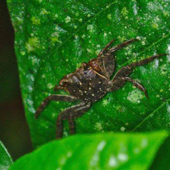 Sesarmidae sp. (Tree climbing Crab)