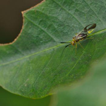 Thyrsophorinae sp. (Staublaus)