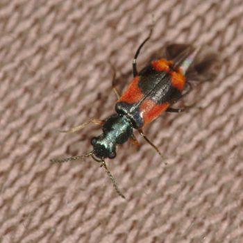 Anthocomus bipunctatus (Warzenkäfer)